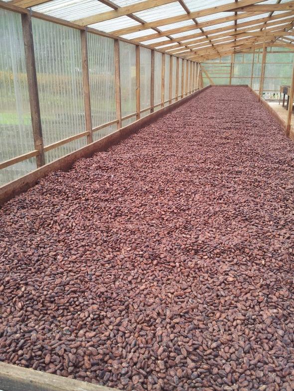 cacaobonen liggen tedrogen - in een kas....