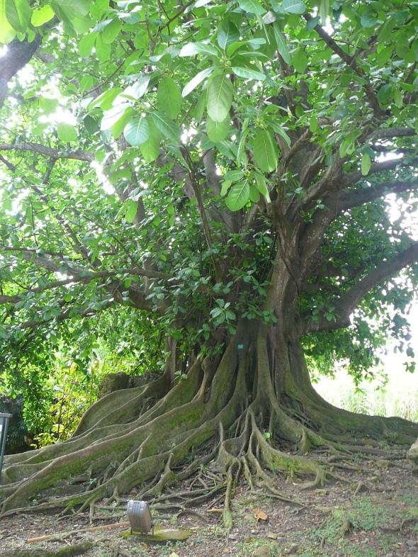 boom met luchtwortels verstaagd....