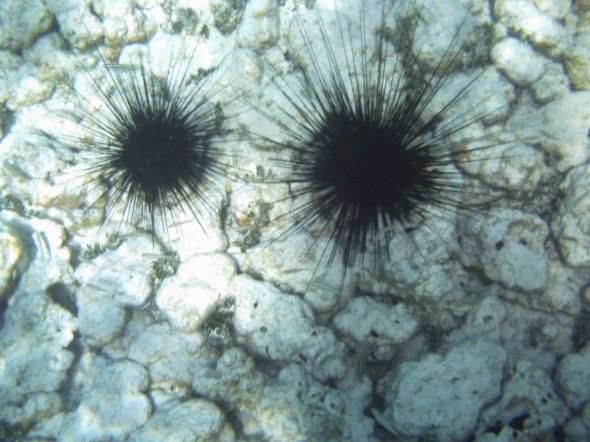 zee-egels te over
