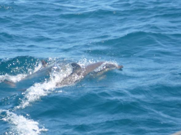 dolfijnen in de baai van Gibraltar