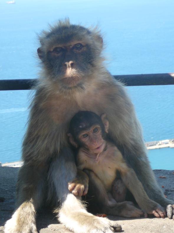 aapjes op de rots van Gibraltar