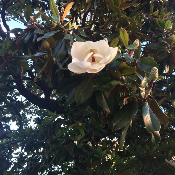 boom met grote bloemen op het plein. Wie weet wat dit voor een boom is?