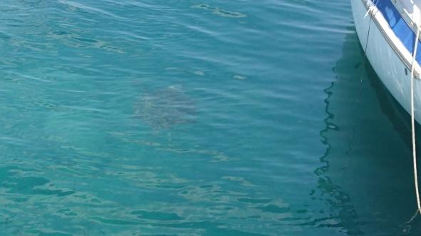 schildpad in de haven! er zitten er wel drie